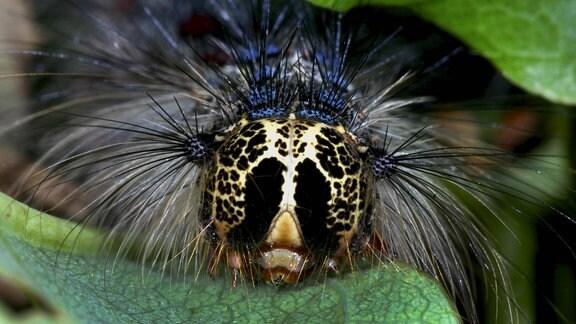 Raupe, Nahaufnahme frontal mit Muster auf dem Kopf, kleinen Augen am Kopf und vielen Haaren. Auf Blatt sitzend.