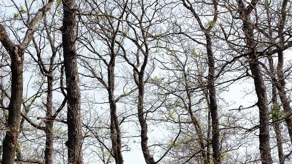 Kahlgefressene Eichenbäume im Frühsommer, die an winterliche Bäume erinnern.