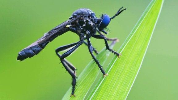 Schwarze Habichtsfliege (Dioctria atricapilla) auf einem Blatt.