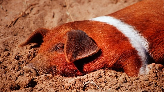 ein Rotbuntes Husumer Sattelschwein schläft im Sand