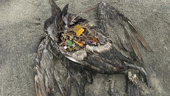 Plastikteile im Magen eines verwesenden Seevogels