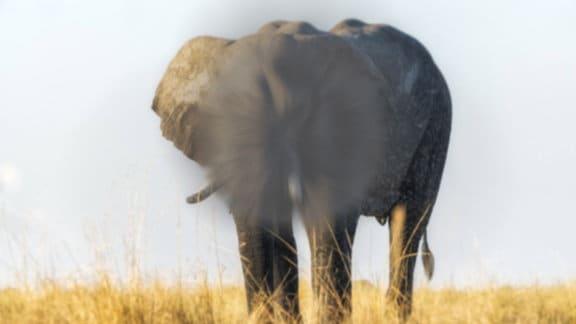 Ein Elefant in freier Wildbahn – das Bild ist leicht unscharf, im Bereich seines Kopfes ein großer grauer, etwas strahlenförmiger Fleck.