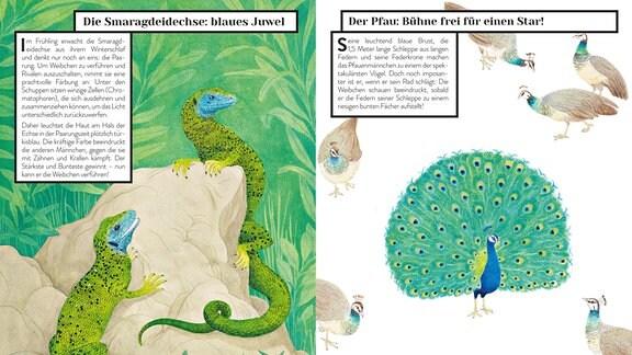 Beim Wettbewerb um die Weibchen färben Smaragdeidechsen ihren Hals türkisblau, während der Pfau sein berühmtes Rad schlägt.