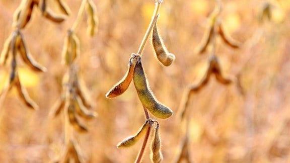 Sojapflanzen
