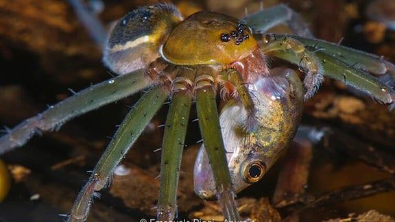 Eine Spinne mit grünen Beinen, gelbem Kopf und haarigem Hinterteil hat einen Fisch in ihren Fängen.