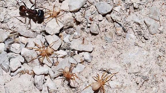 Spinnen Myrmecicultor chihuahuensis