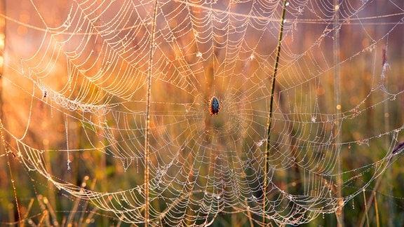 Taubehangenes Netz einer Kreuzspinne im Gegenschein der tief stehenden Sonne
