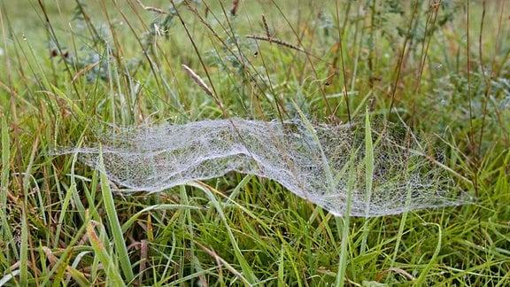 Ein auf einer feuchten Wiese zwischen Gräsern hängendes Baldachinnetz einer Spinne