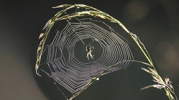 Spinnennetz im Halm