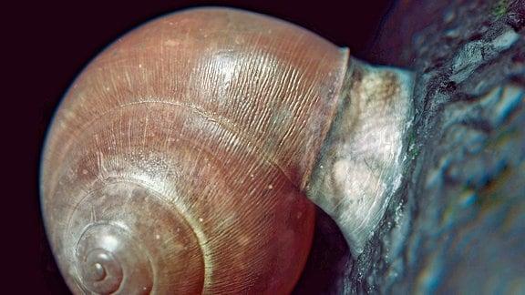 Schneckenschleim verwandelt sich in trockenem Zustand in Epiphragma. Diese Subtanz ist sehr hart und hält Schnecken auch an glatten Oberflächen fest.