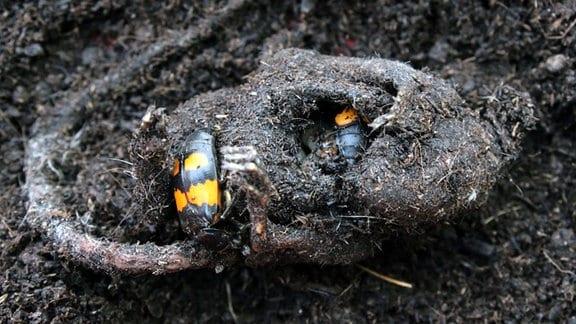 Ein Mäusekadaver auf der Erde. Die beiden schwarz-orangenen Totengräber-Käfer haben ihren Nachwuchs darin untergebracht.