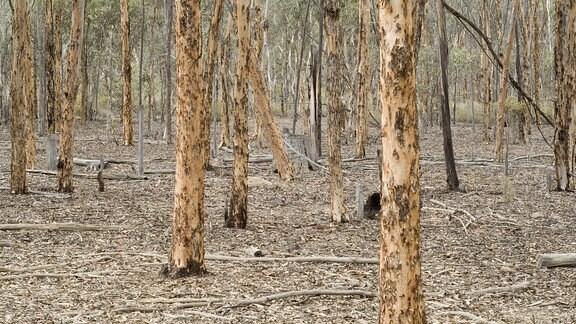 Eukalyptusbäume (Eucalyptus astringens),