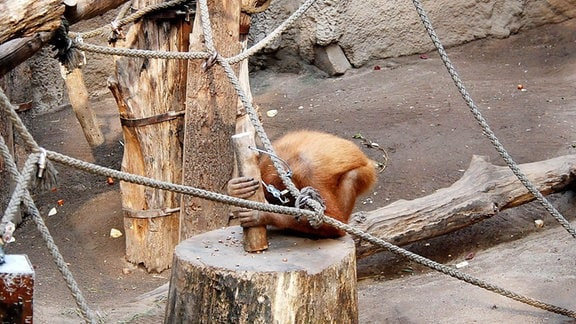 Das Orang-Utan-Weibchen Padana im Leipziger Zoo nutzt auch noch einige Zeit nach Ende der Studie Holzhämmer, um Nüsse zu knacken.