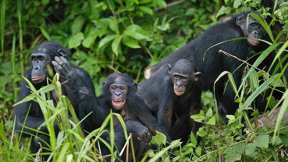 Bonobo-Gruppe im Urwald