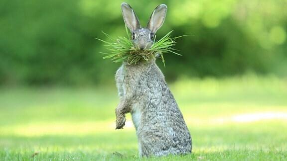 Ein Hase mümmelt Rasen und sieht dabei so aus, als würden ihm grüne Barthaare wachsen.