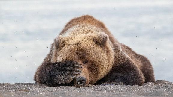 Bär liegt am Strand