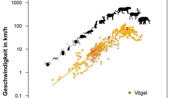 Zwischen dem Gewicht von Tieren und der maximalen Geschwindigkeit, die sie erreichen können, besteht ein parabelartiger Zusammenhang. Wie dieser zustande kommt, haben Forscher nun erstmals mit einem einfachen mathematischen Modell beschrieben