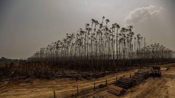 Durch Brand zerstörte Eukalyptus-Plantage