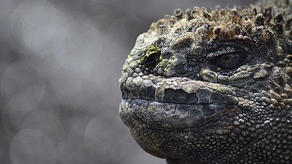 die Galapagos-Echse Godzilla