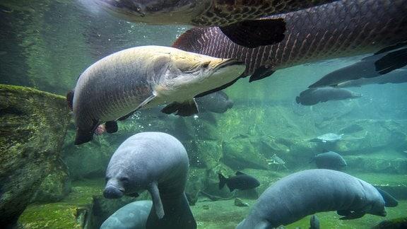 Westindische Seekühe und Arapaima gigas unter Wasser