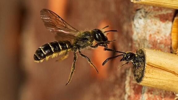 Eine Biene greift eine kleineres Insekt an