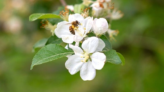 Eine Biene auf einer Blüte