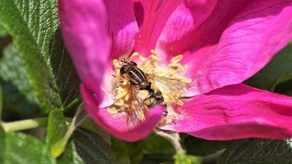 Wespenschwebfliege