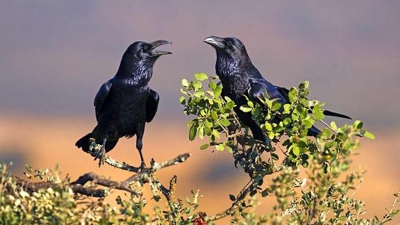 Ein Kolkrabenpaar (Corvus corax)