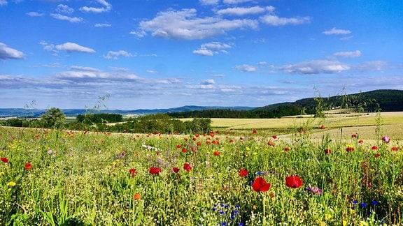 Eine Wiese, Mohnblumen, blauer Himmel