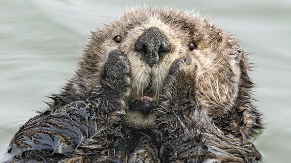 Ein Otter imitiert einen Gesichtsausdruck.