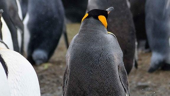 Ein Pinguin steht im Wasser und erleichtert sich.