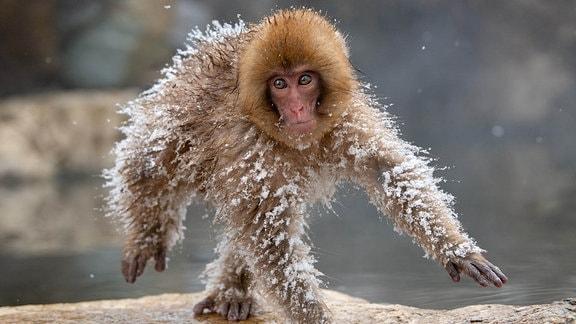 Affe balanciert im Schnee über Felsen.