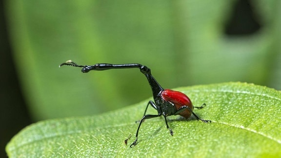 Giraffenhalskäfer (Trachelophorus giraffa), Männchen sitzt auf Blatt