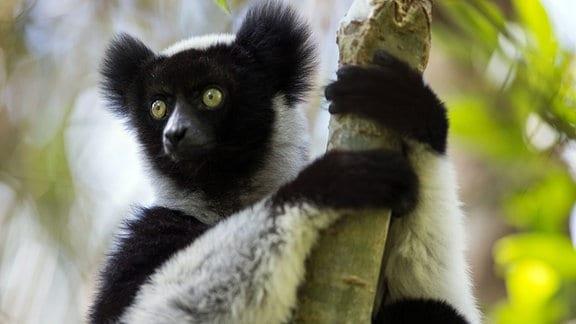 Ein Indri-Lemur auf Madagaskar