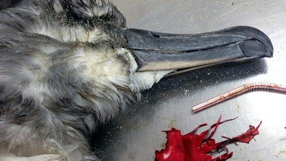 Der Kopf eines Graukopf-Albatros auf einem Autopsietisch neben Ballonresten und einem Plastikstrohhalm.