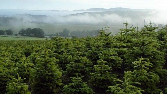 Mit 18.000 Hektar wichtigstes Produktionsgebiet von Weihnachtsbäumen in Europa: das Sauerland.