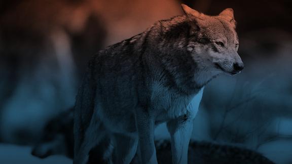 Hintergrundbild Wölfe