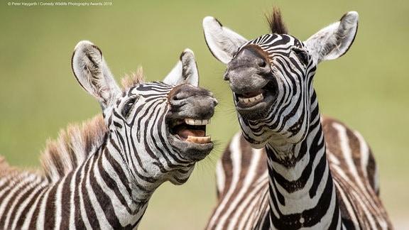 lachende Zebras
