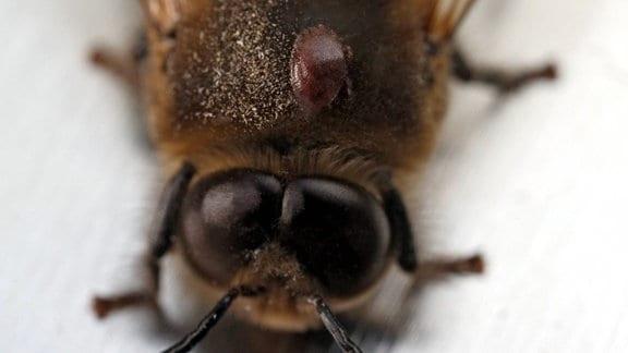Drohne mit Varroamilbenbefall.