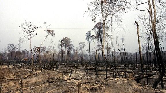 Für Viezucht abgeholzter und verbrannter Regenwald in Barsilien