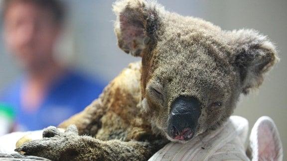 Verletzter Koala