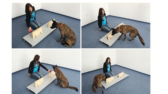 Vier Bilder zeigen eine Frau, die einen Ball abwechselnd hinter zwei Brettern versteckt und einen Hund, der das Versteck des Balls finden soll.