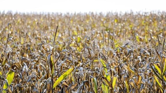 Vertrocknete Maispflanzen auf einem Feld.