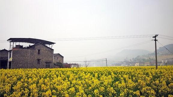 Ein Feld mit gelb blühenden Rapspflanzen in der Nähe der chinesischen Megametropole Chongquing in Zentralchina.