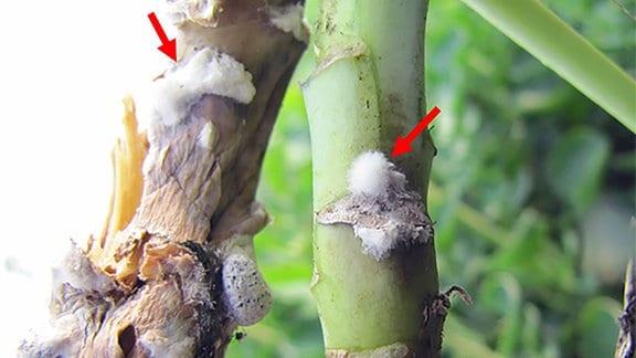 Der pilzliche Erreger, Sclerotinia sclerotiorum, infiziert und tötet Rapspflanzen. Die weißen Pelze sind die Hyphen dieses Pilzes (hier mit Pfeilen markiert).