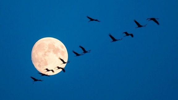 Fliegende Kraniche vor dem Mond