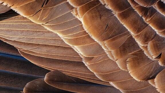 Kanadagans (Branta canadensis), Schwingengefieder