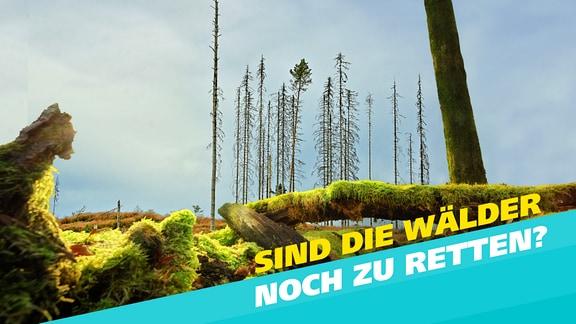 Im Vordergrund ist ein mit Moos bewachsener toter Baum zu sehen, im Hintergrund eine abgestorbene, kahle Fichte.