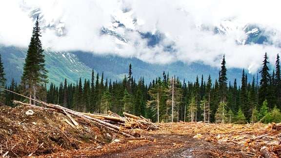 Ein abgeholzter Wald.