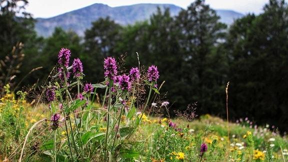 Wildblumen auf einer Wiese im Gebirge.